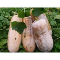 广州农源 粤冠蜜本南瓜种子  早中熟 肉厚 味甜 淀粉质细腻 水份少 单瓜重可达5公斤 蜜本南瓜种子 40克/罐