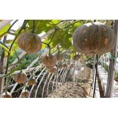 广东粤蔬 香蜜小南瓜种子 生长势强 易坐瓜 外形美观 肉色橙黄 品质好 南瓜种子 10克装