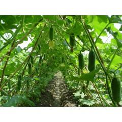 广东粤蔬 夏冠一号节瓜种子 广东农科院选育 亩产3000公斤 华南地区夏季唯一可以栽培的节瓜品种 节瓜种子 20克装