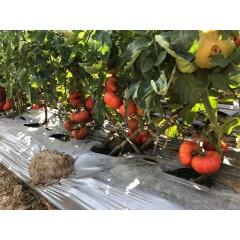 揭阳农友 皇室菊花番茄 一代杂交 长势旺盛 果实扁圆呈瓣棱型 单果重达350克 中晚熟 甜美可口 肉质细腻 5克装 番茄种子