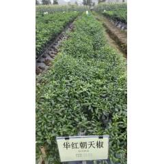 广州阳兴 华红朝天椒种子 座果性强 熟果大红色 果长7-8厘米 辣椒种子 5克装