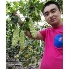 广州卓艺 白露白珍珠苦瓜种子 广东农科院老专家选育 颜色漂亮 抗性好  苦瓜种子 20克装